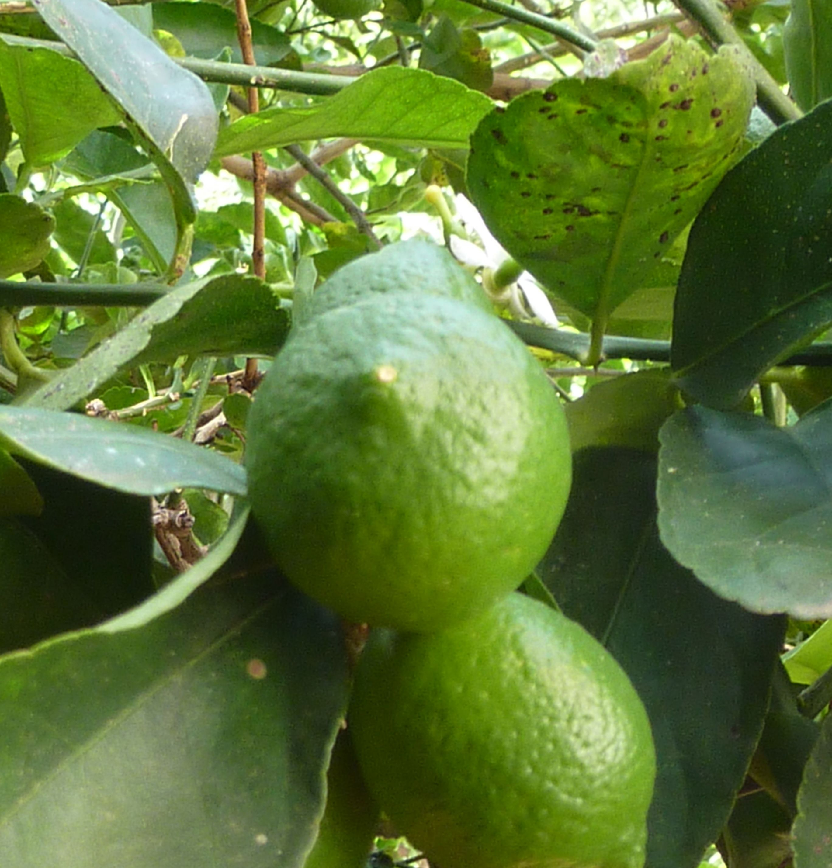Limes Essential To Cuban Cooking In My Book A Dash Of Fresh Lime Juice Is The Perfect Foil To The Cr Strawberry Detox Water Fertility Smoothie Cuban Recipes