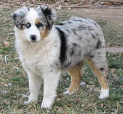 Beautiful Australian Shepard Australian Shepherd Miniature Australian Shepherd Dogs And Puppies