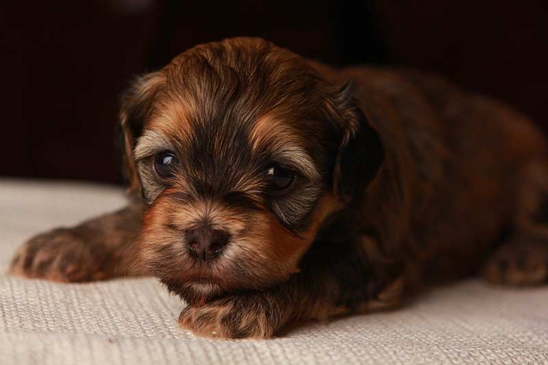 Chocolate Havanese, small non shedding puppy AKC Breeder Tennessee USA