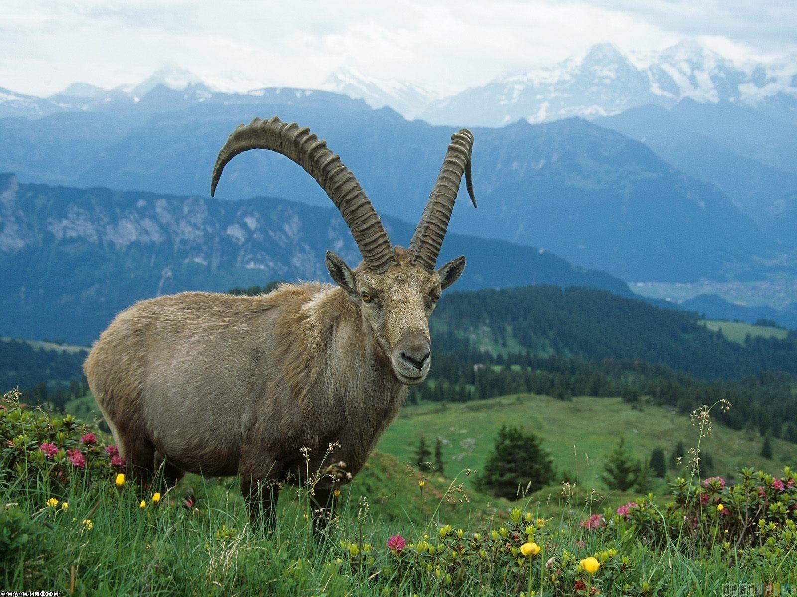 Mountain Goat Mountain Goat Wallpaper 1209 Open Walls Ozera
