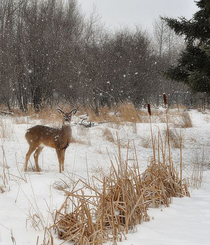 : Two Cat Tails ... And A Deer :