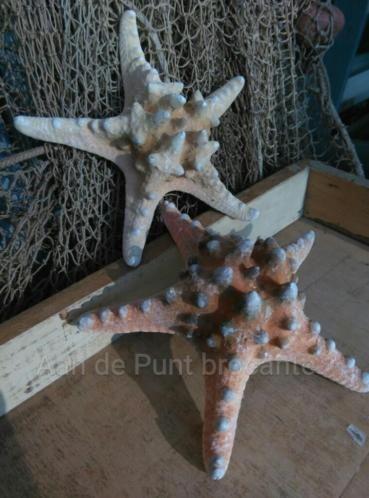 Zeester Philippine 15 18 Cm Zeester Decoratie Prachtige Natuur