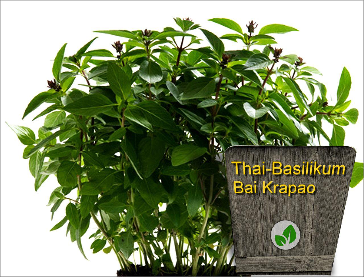 Samen Thai Basilikum Thai Kräuter im eigenen Garten Unsere