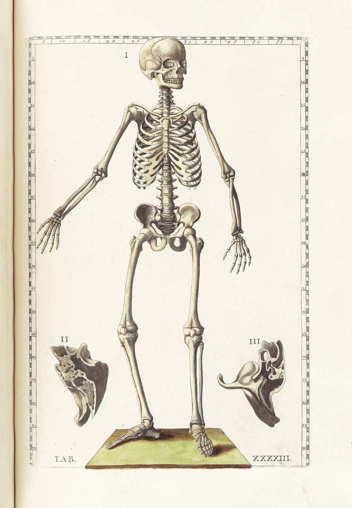 Hand colored etching of a standing facing skeleton figure looking