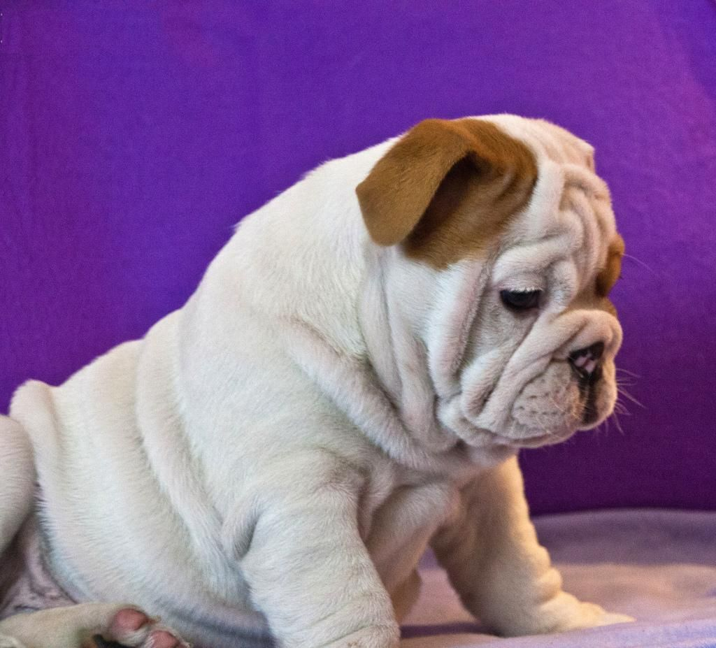 You guys know a good vet? I'm getting my bulldog