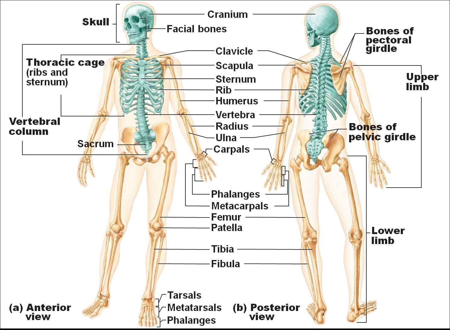 Image Result For Skeletal System