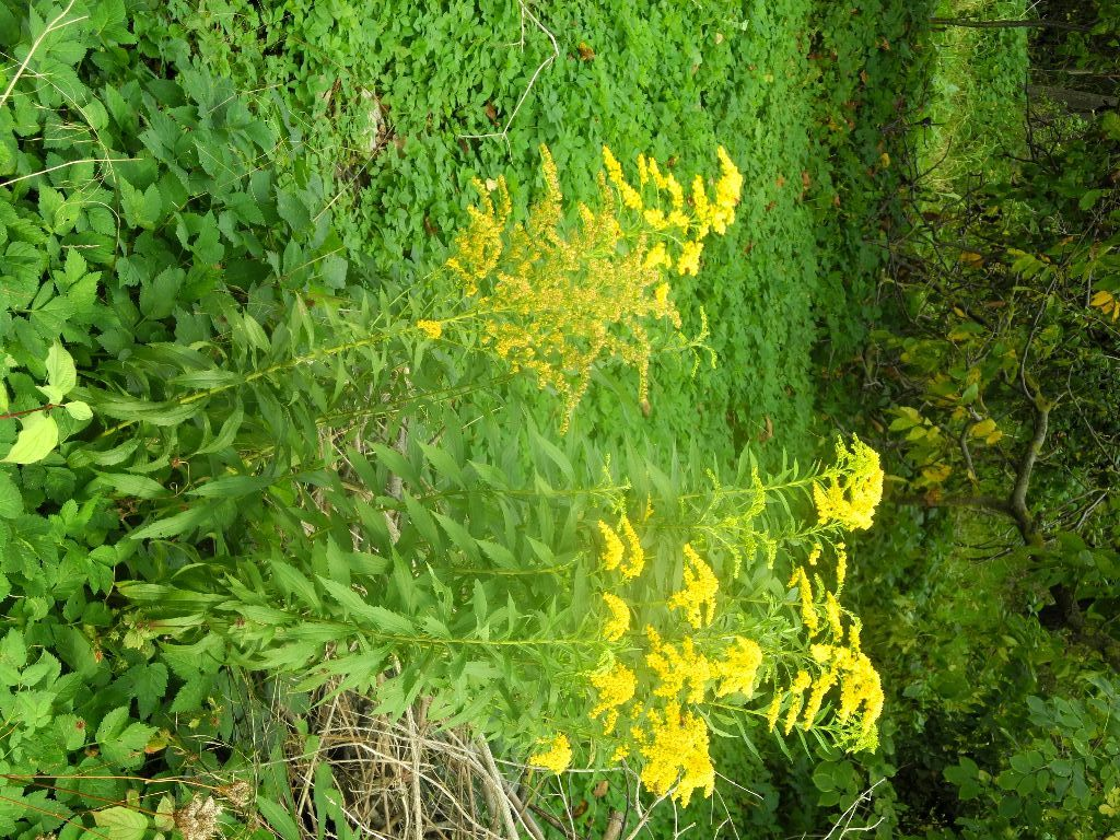 Goldrute mit Blüten DSCN0368 http://selbstbewusstgesund.de/ernaehrung/essbare-wildkraeuter-28/