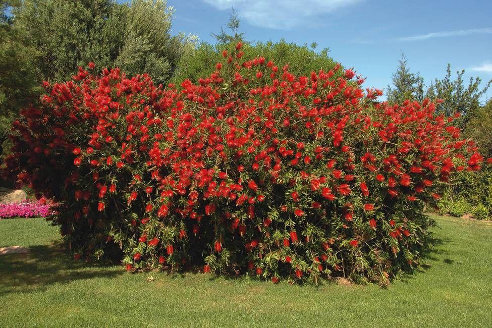 Callistemon Citrinus Splendens Crimson Bottlebrush
