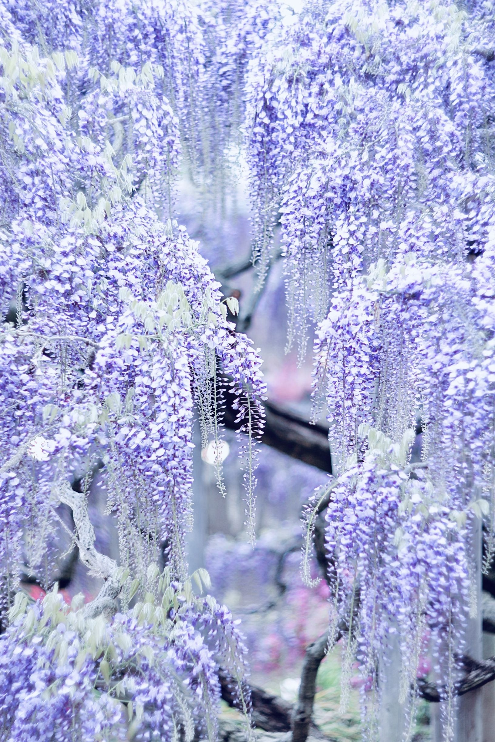 Wisteria flower💜 photo by another_blue_sky instagram