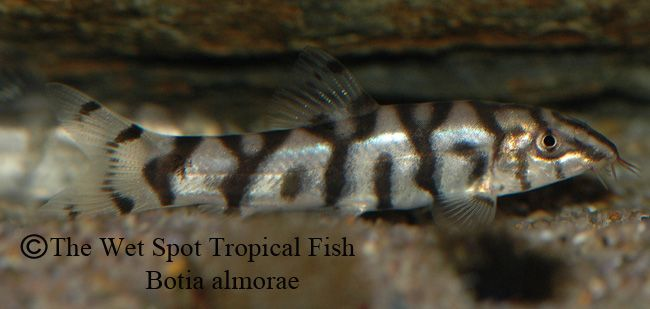 Botia Almorae Yo Yo Loach Fish Tropical Fish Aquarium Fish