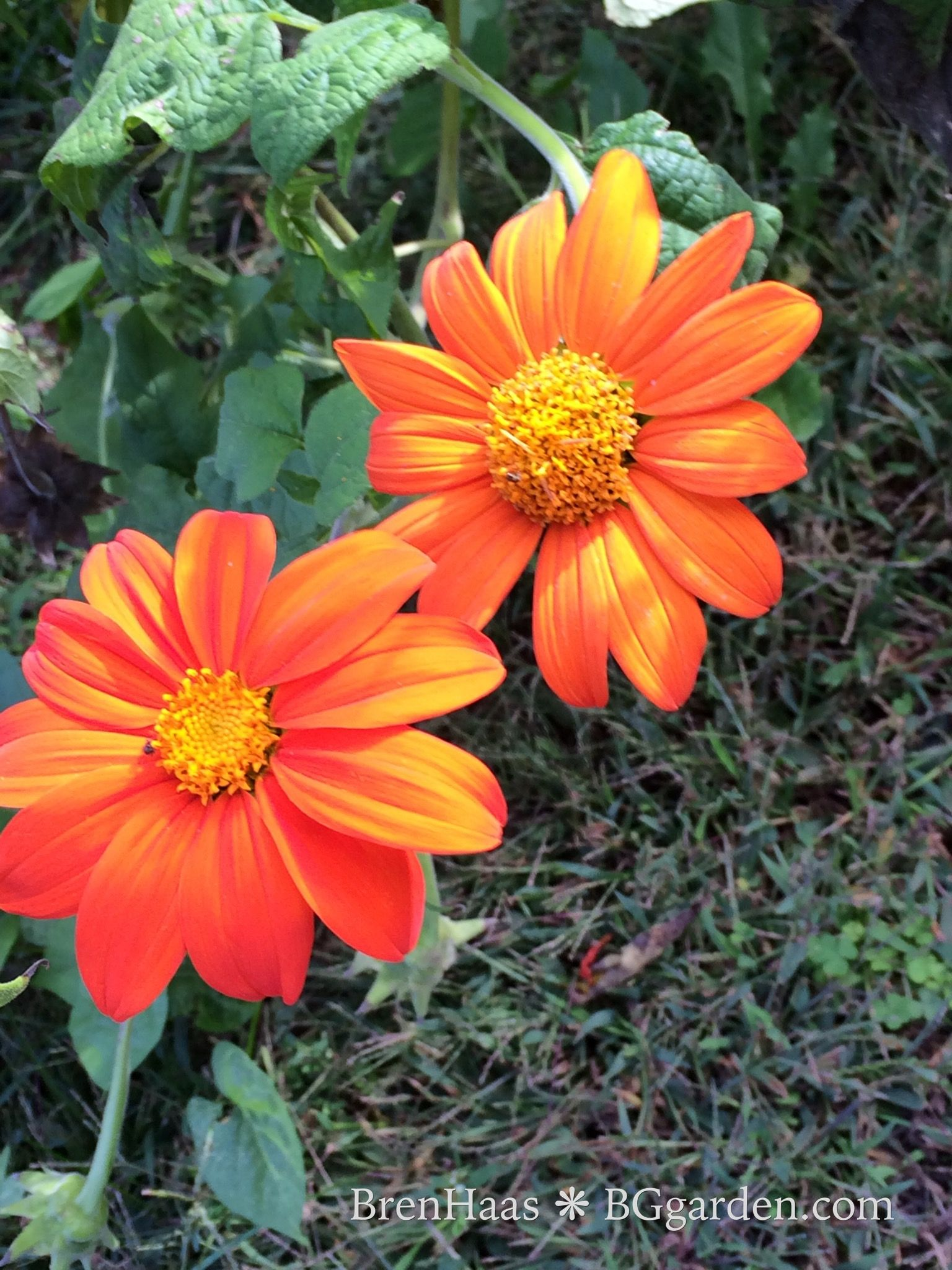 Tithonia Also Called Mexican Sunflower Mexican Sunflower Beautiful Flowers Seeds
