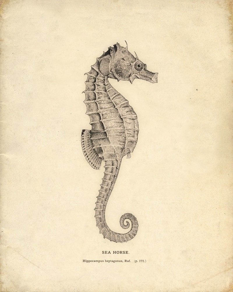 Antique Sea Horse Print