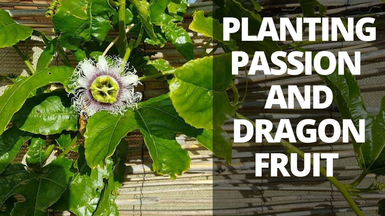 how to grow passion fruit from cuttings