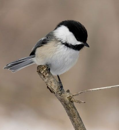 We might call the Black-capped Chickadee the sentry for the group as they move from location to location seeking food sources. Description from aspensongwildbirdfood.com. I searched for this on bing.com/images