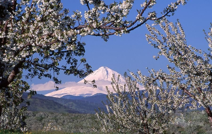 Cherry Blossoms In The Dalles Oregon Oregon Pacific Northwest Natural Landmarks