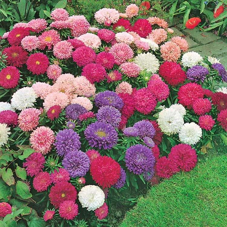 Jual benih / seeds / bibit flower (bunga Crego Mix Aster