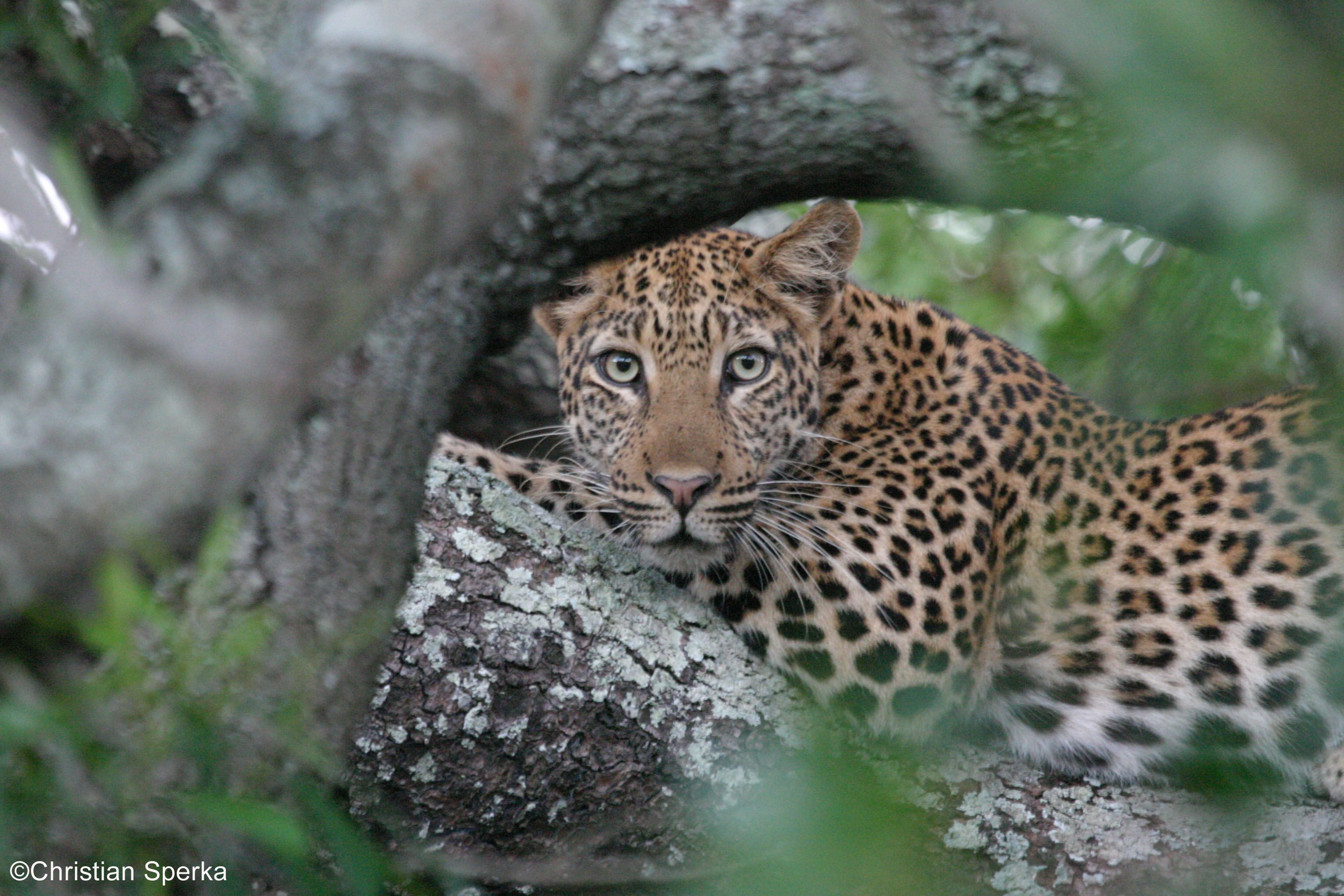 Leopards are native to 35 countries in Sub Saharan Africa