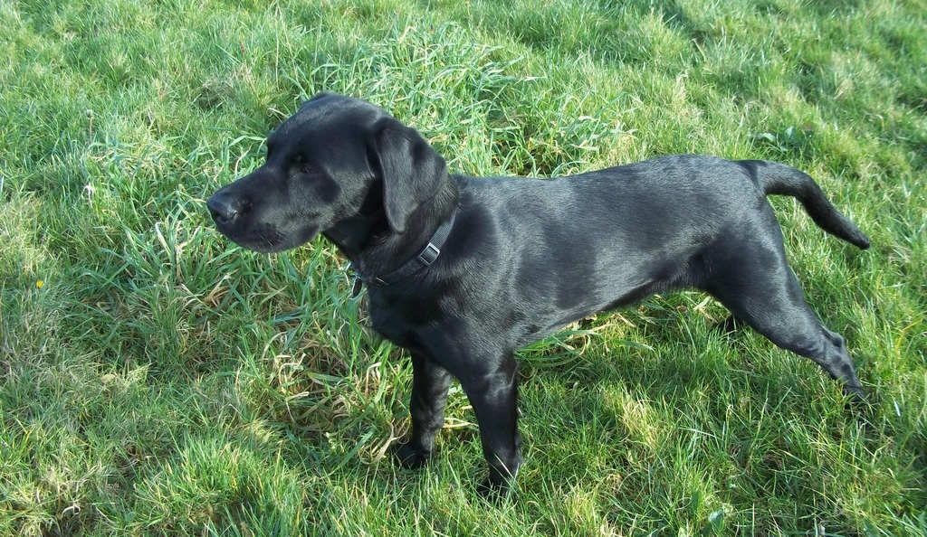 Six Month Labrador Your Puppy Questions Answered Black