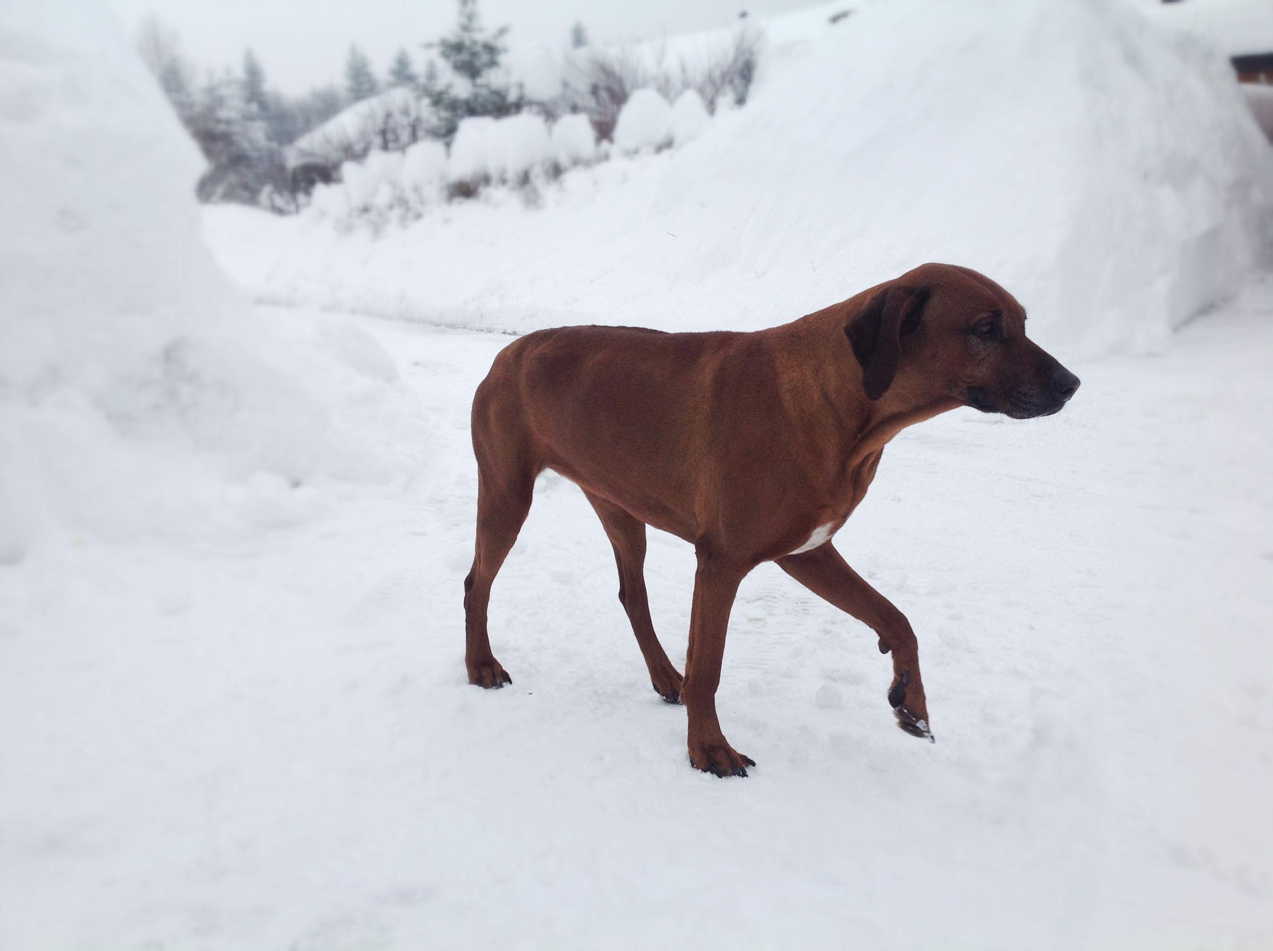 African dog, Rhodezian Ridgeback in cold winter :S
