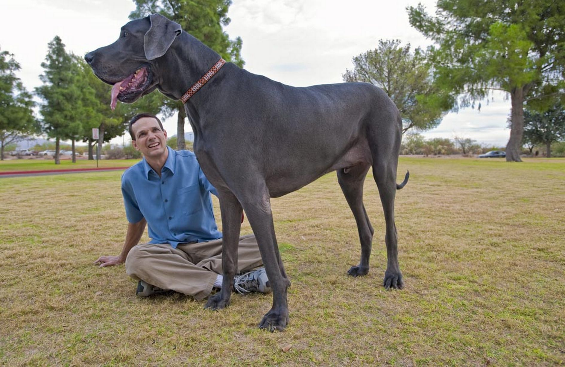 World S Tallest Dog Dies Great Dane George Was 7ft 3in Stood Up