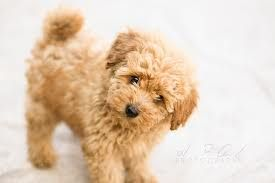 Toy Poodles Google Search Hunderassen Susse Tiere Hunde
