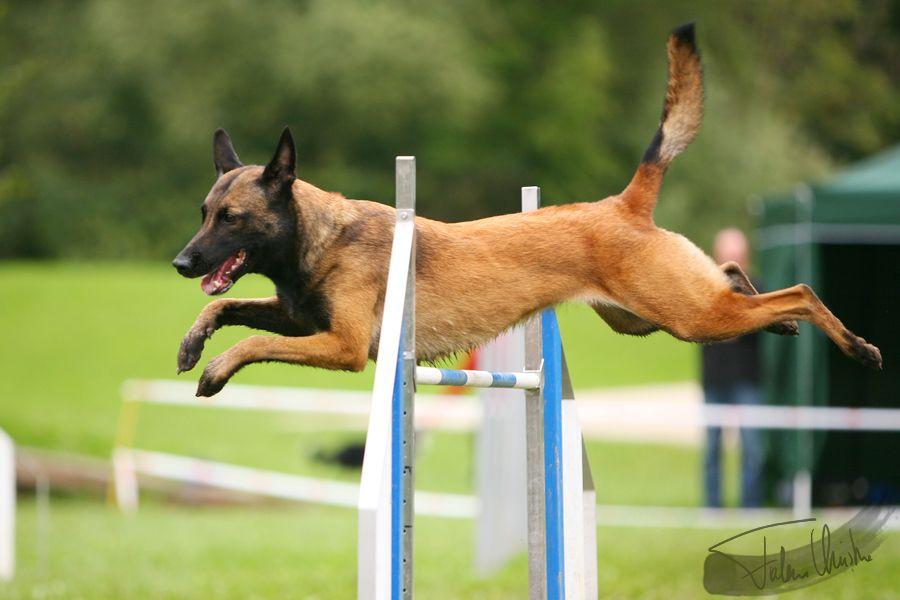 Belgian Shepherd Malinois Agility Belgian Malinois Dog Agility Training For Dogs Malinois Dog
