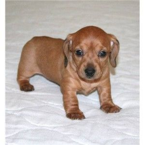 Newborn Miniature Dachshund Puppies Pets Ketchikan Free
