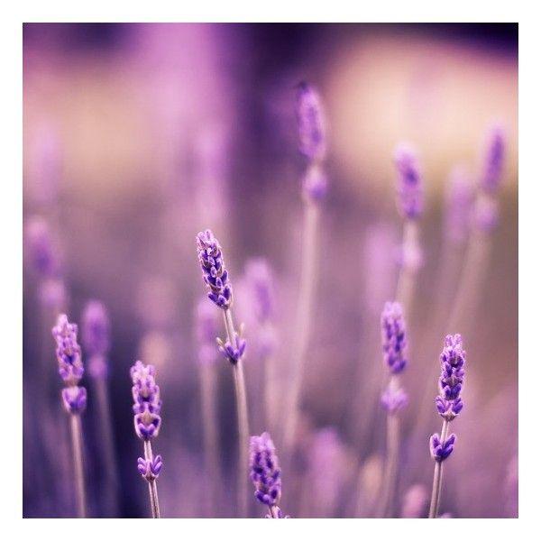 Polyvore Blooming Flowers Lavender Flowers