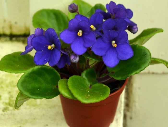 die Saintpaulia ist sehr schön mit seinen lila Farben Pflanzen für ...