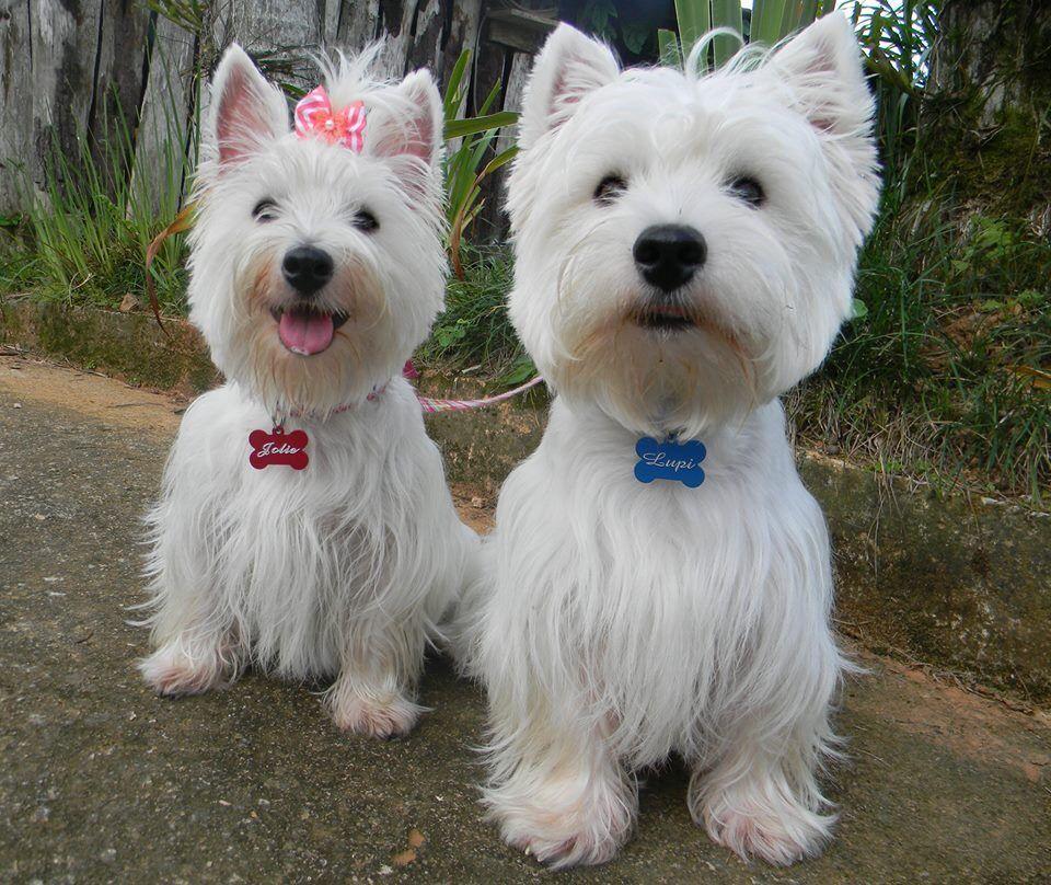 Buy Westie Puppies In Utah USA