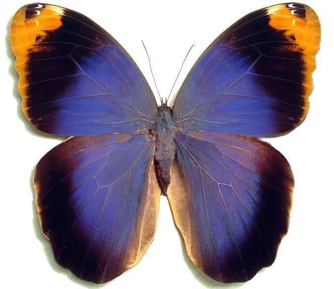 Gallery For > Butterfly Purple Real | Butterflies ...