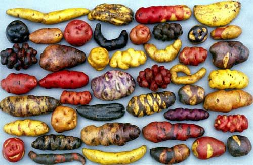// Varieties of Peruvian potatoes.