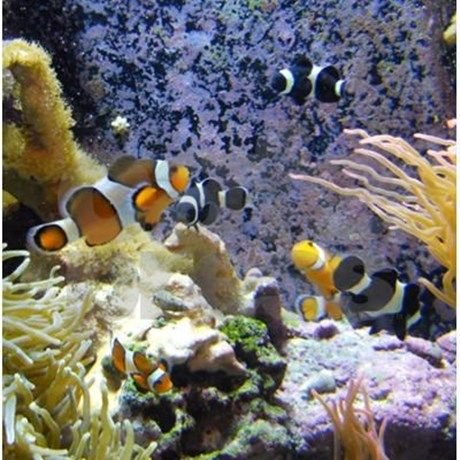 Gold and Black Clown Fish swimming among coral and rocks.