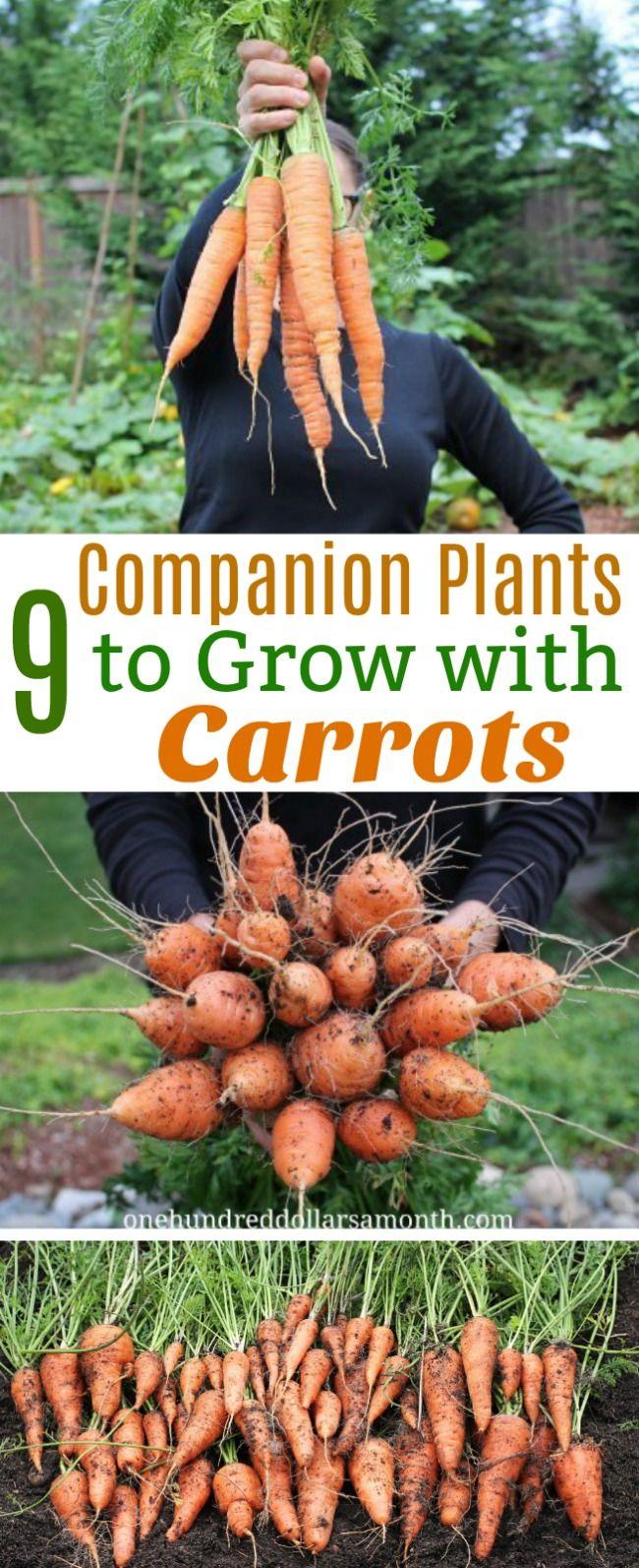 9 Companion Plants To Grow With Carrots Carrot Companion 640 x 480