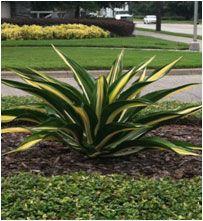 False Agave Plants Available At Mariposa Nursery In Bradenton Fl