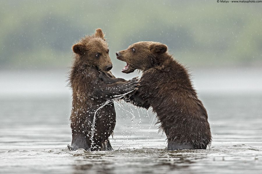Young Grizzly grow by Marco Mattiussi