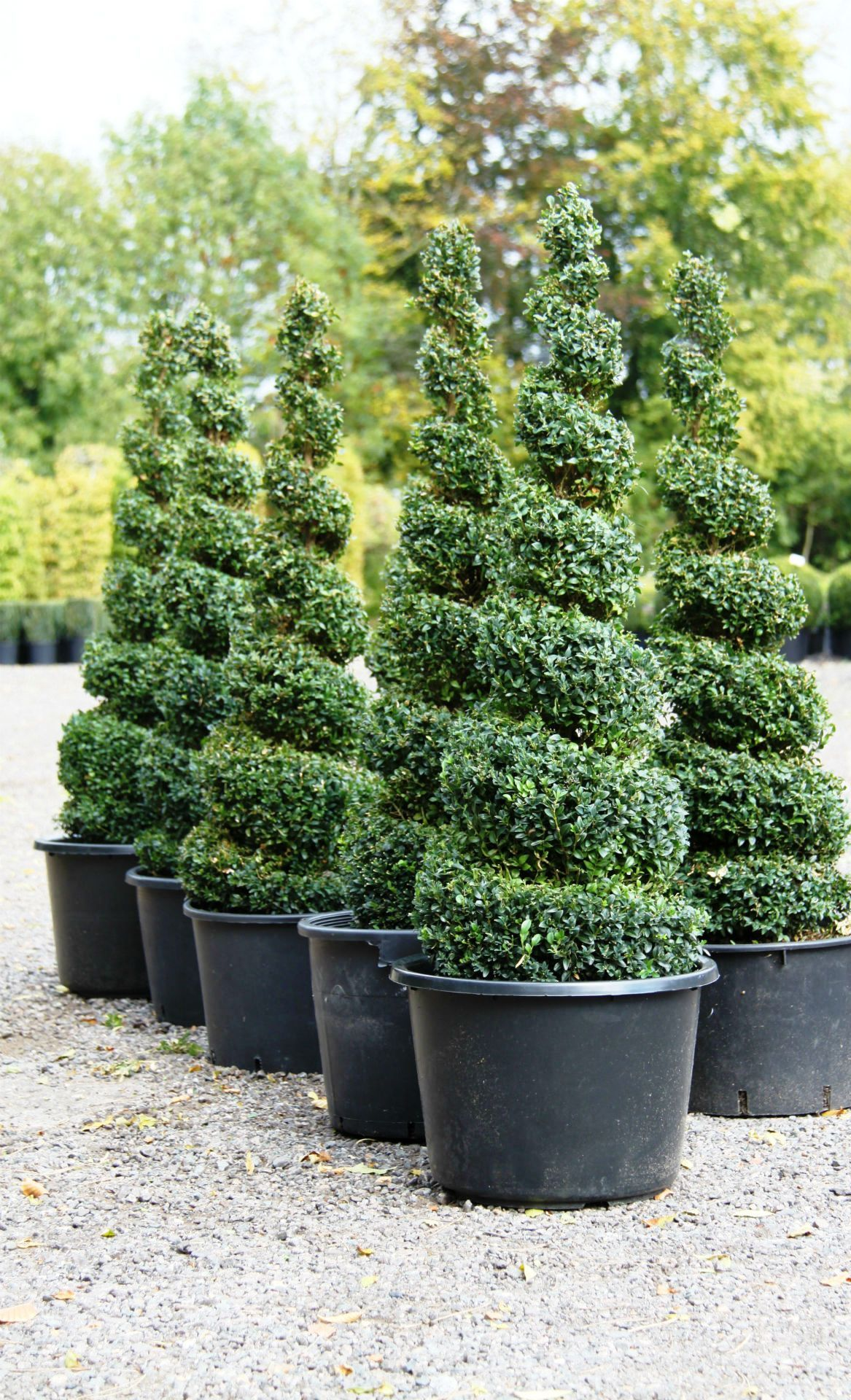 Topiary spirals from crown topiary hertford a topiary for Outside plants and shrubs