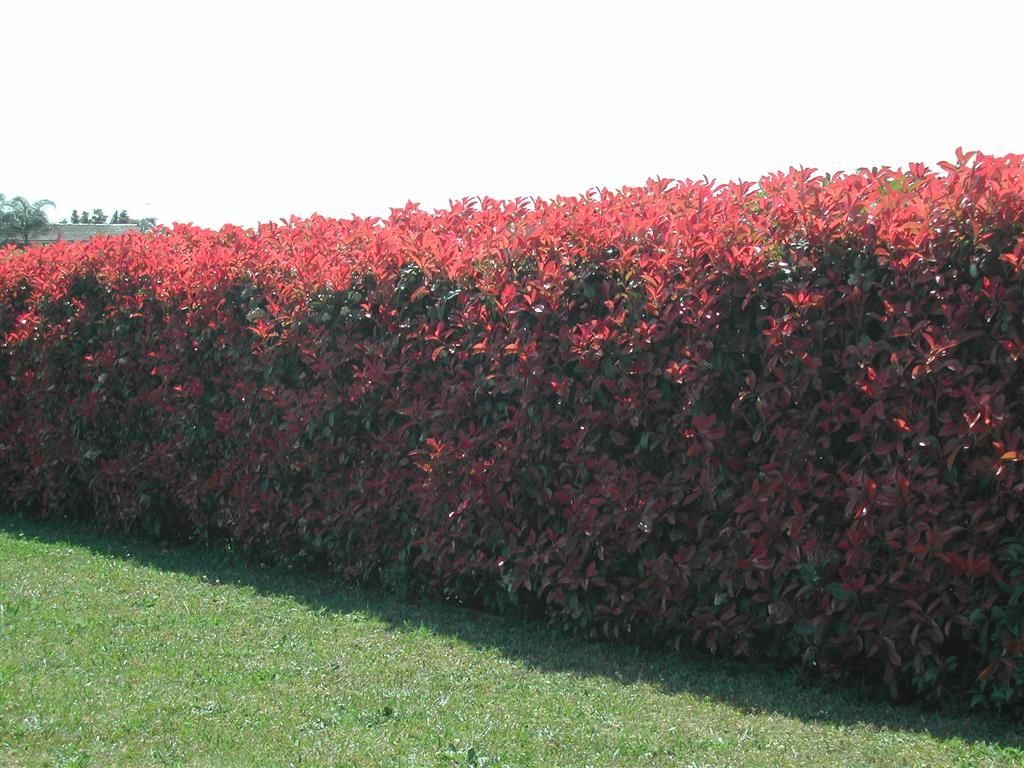 illinois shrubs For Privacy Photinia Red Robin