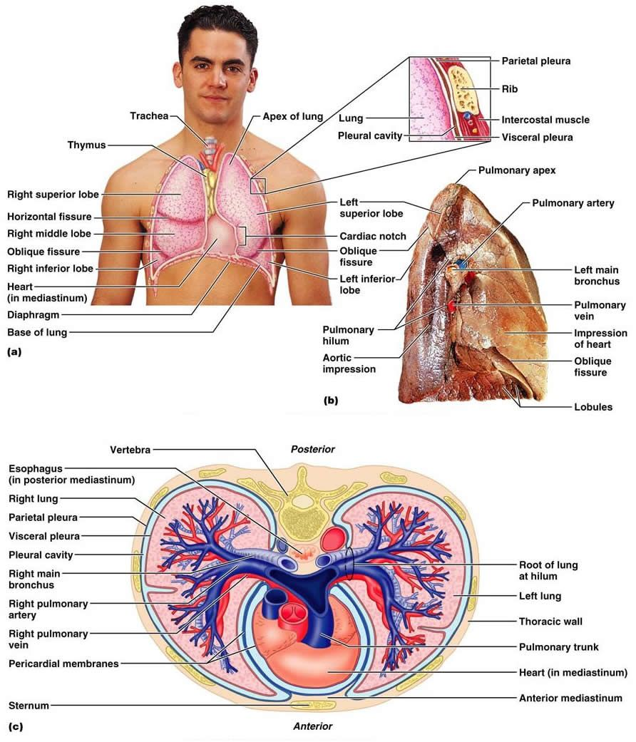 respiratory system definitions and cavities on pinterest : thoracic cavity diagram - findchart.co