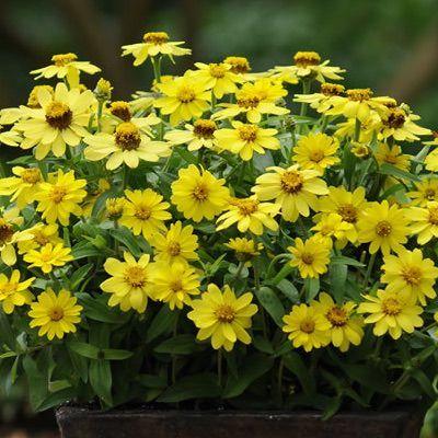 Zahara yellow zinnia zahara yellow zinnia is continuously covered in flowers zahara yellow zinnia mightylinksfo Choice Image
