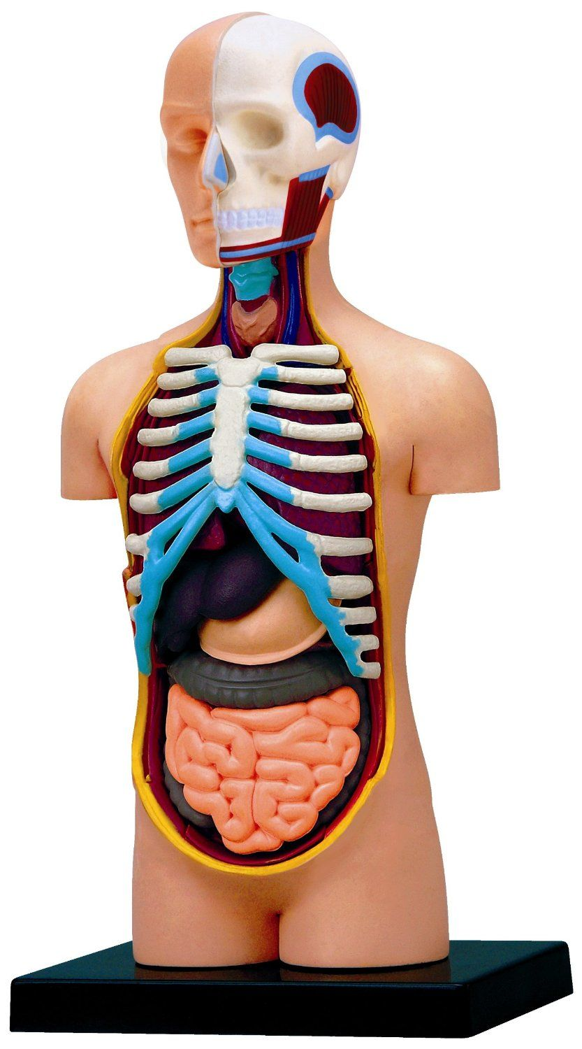 Charmant Masters In Anatomy And Physiology Ideen - Menschliche ...