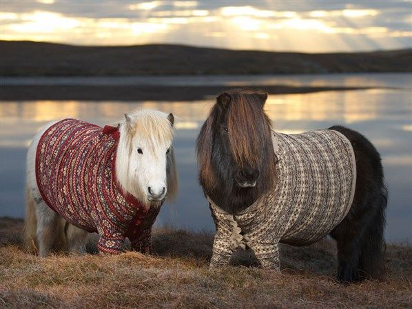 f831713a20 Shetland ponies in sweaters (© Rob McDougall Rex Features)