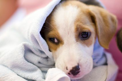 Why Do Dogs Get Hiccups Dog Shampoo Dry Dog Shampoo Homemade
