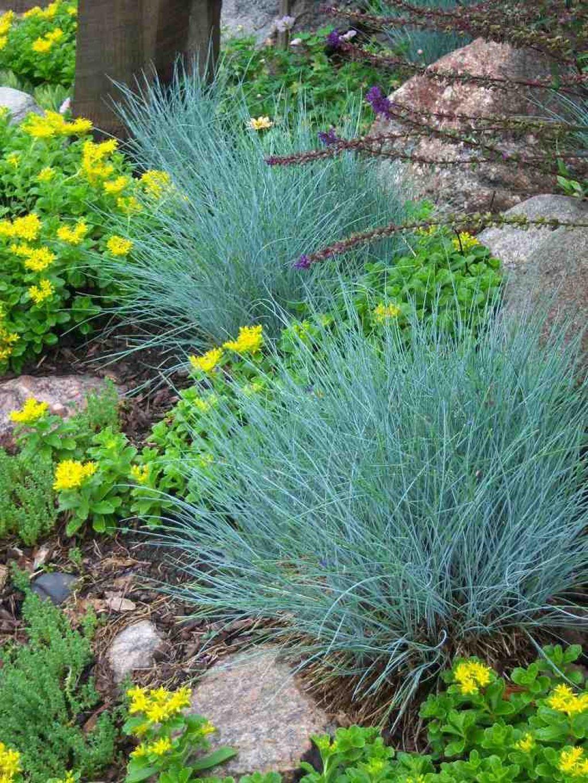 Short ornamental grasses - Backyard Garden With Blue Fescue Ornamental Grasses Outdoor Short Ornamental Grasses