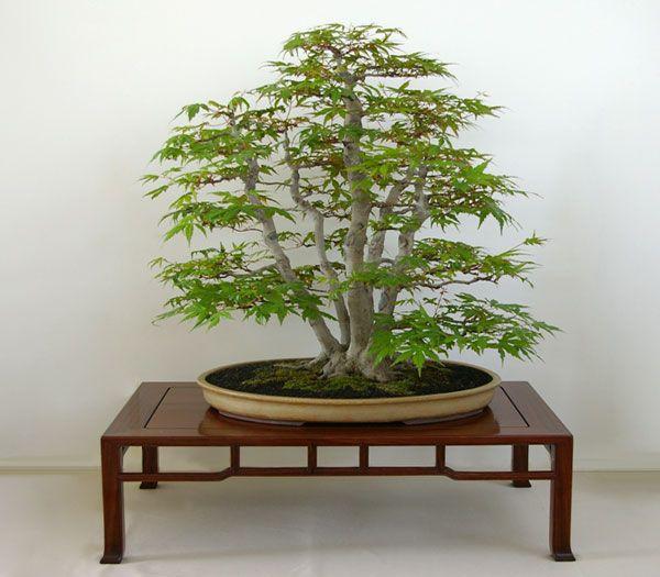 Japanese Maple Acer Palmatum Bonsai With Many Stems Kabudachi