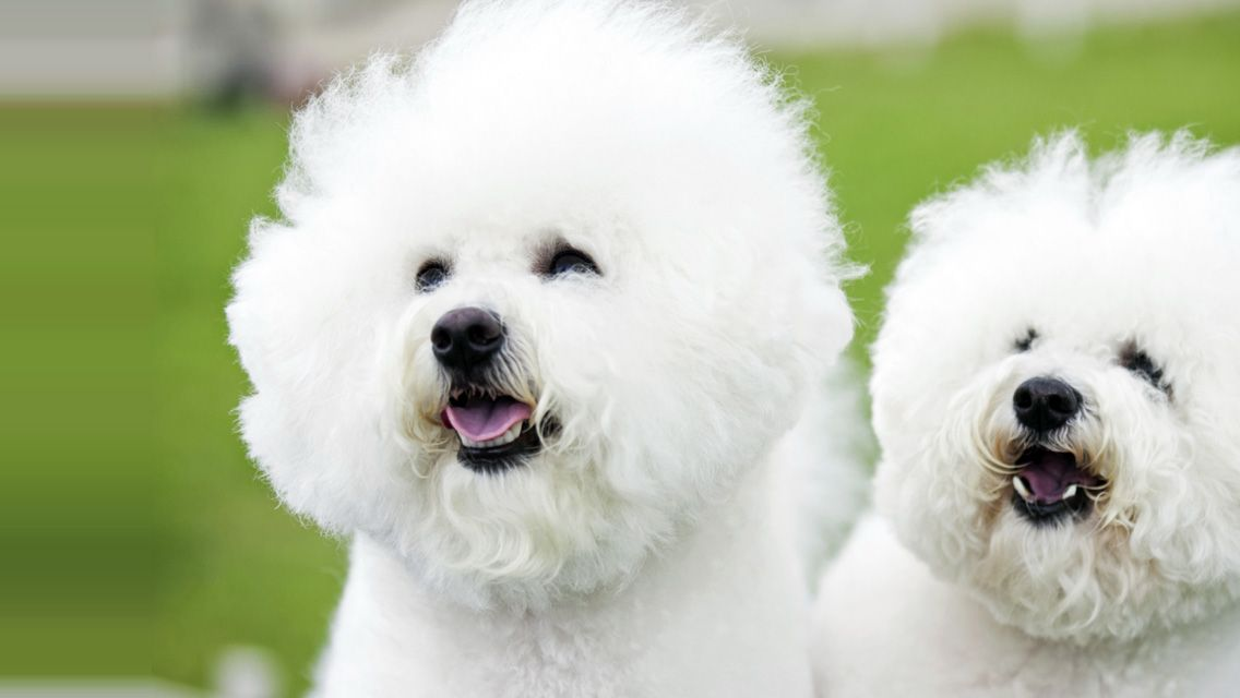 Bichon Frise French For Fluffy White Dog Which Is A Very