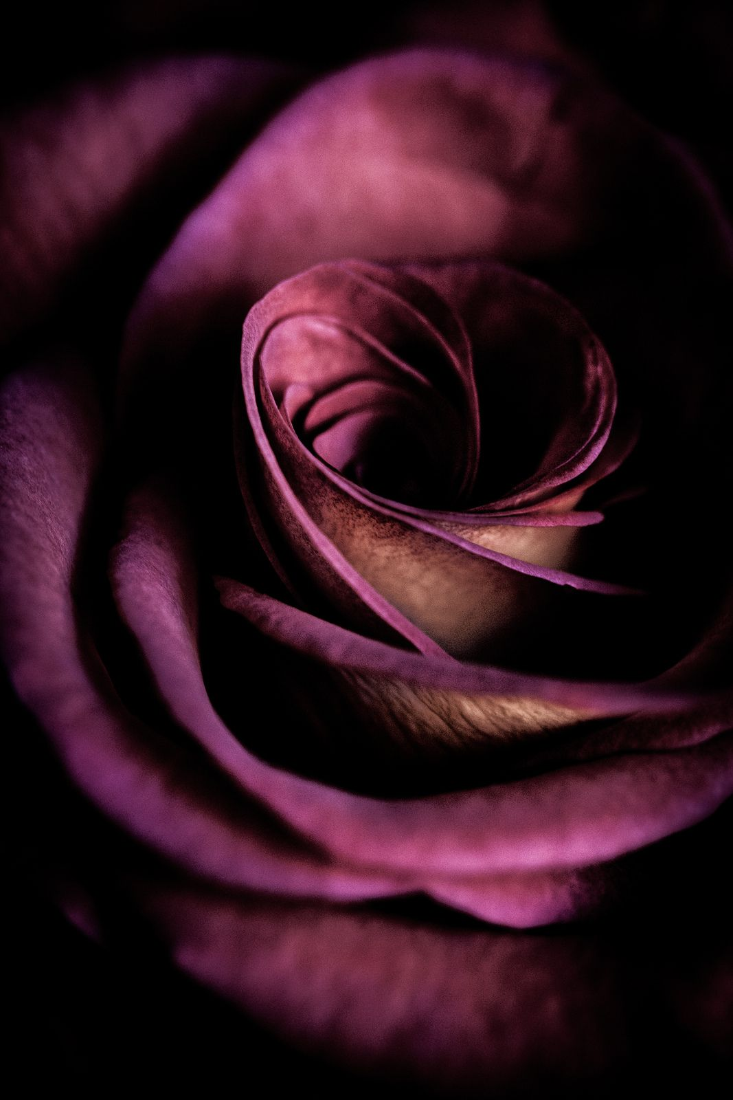 """""""Some flowers are more perfect than others"""" by alan shapiro photography on Flickr - Some flowers are more perfect than others, like this beautiful deep purple rose."""