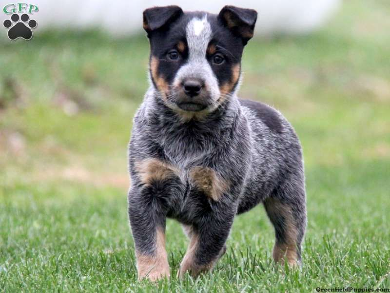 Blue Heelers For Sale : Tessy blue heeler puppy for sale from kinzers pa cattle dogs