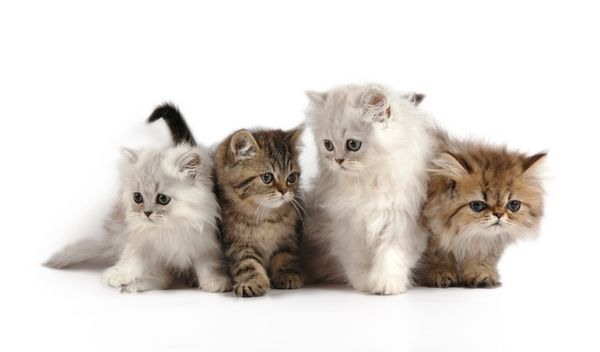 แมวเปอร เซ ย ราช น แมวท ใคร ๆ หลงร ก Cute Cats Photos Kittens Cutest Beautiful Cats