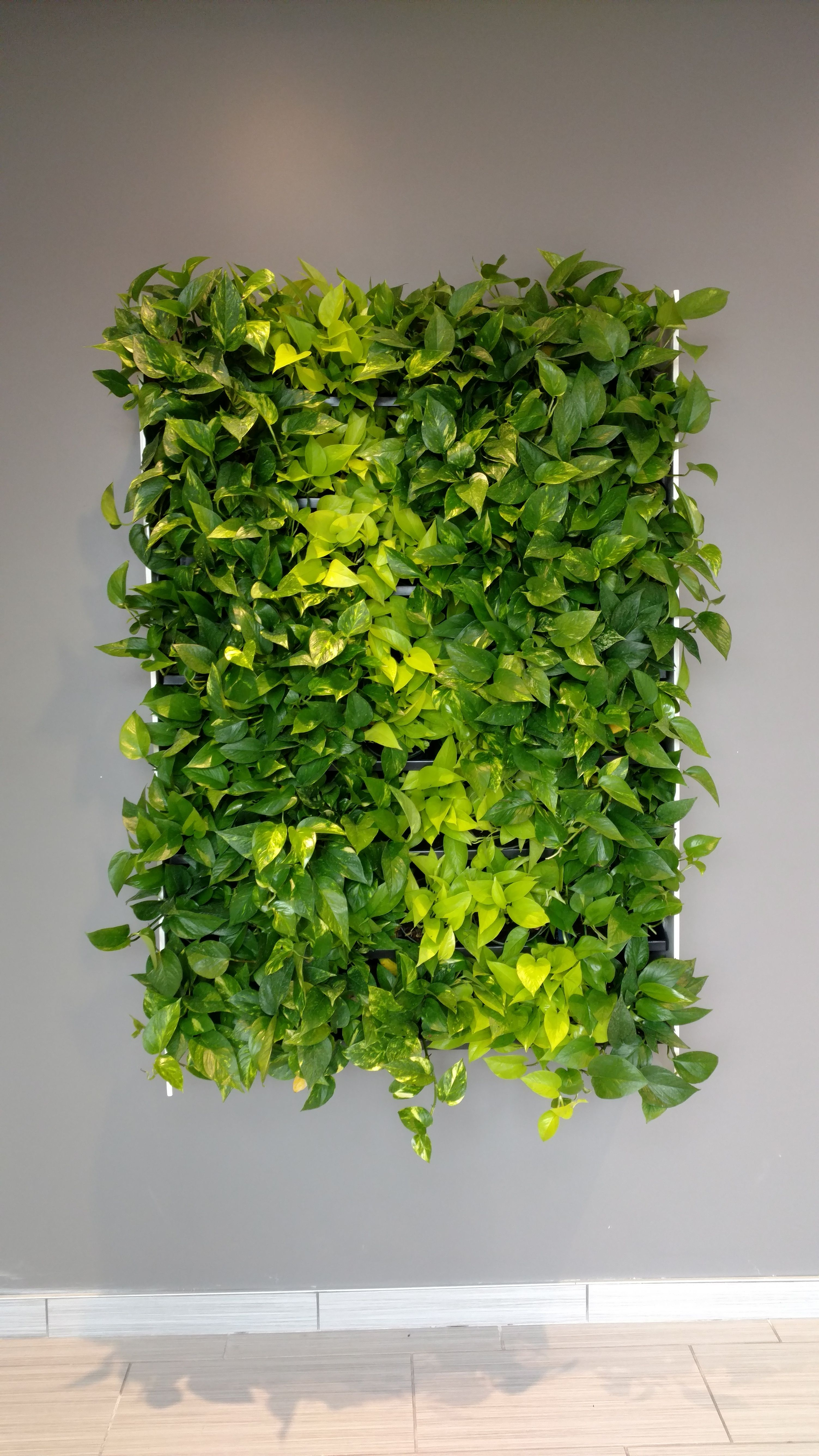 For This Wall We Used A Combination Of Golden Pothos And Neon Pothos Plants Neon Pothos Are A Striking Chart Plant Wall Plant Installation Wall Installation